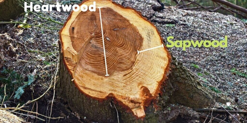 difference between sapwood and heartwood