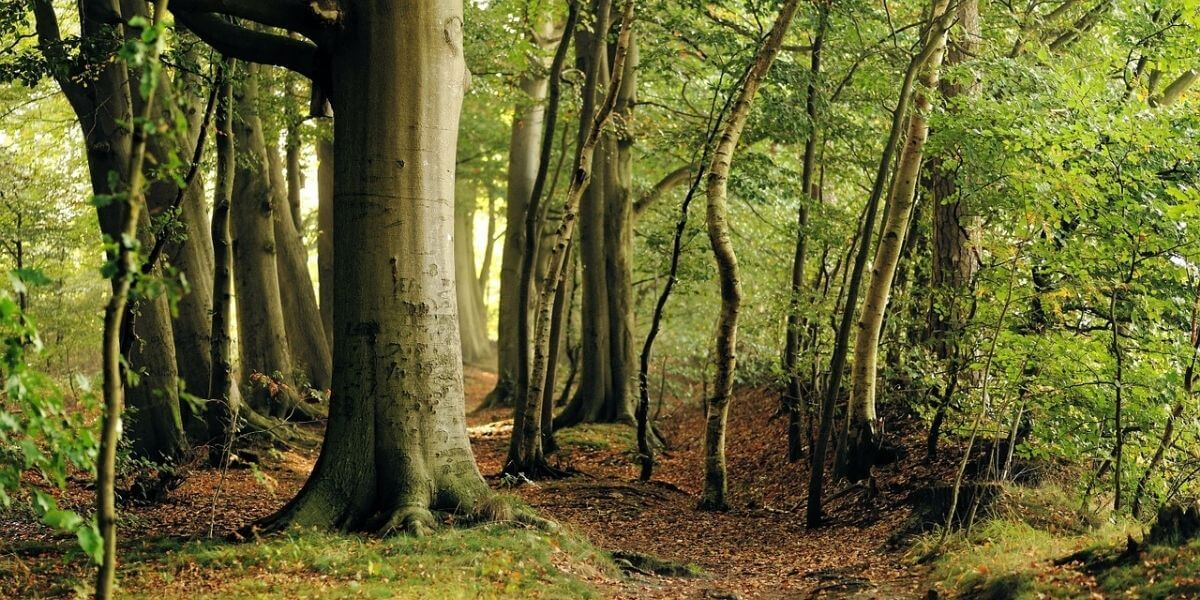Beech Wood Properties | Its Advantages and Disadvantages