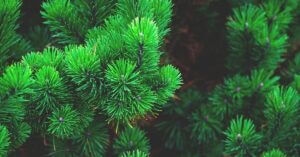 Pine Wood Properties | Types of Pine Trees and Uses