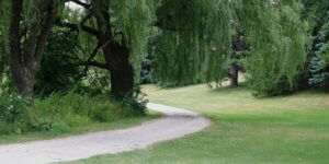 Willow Oak Tree   How to Plant a Willow Oak Tree?