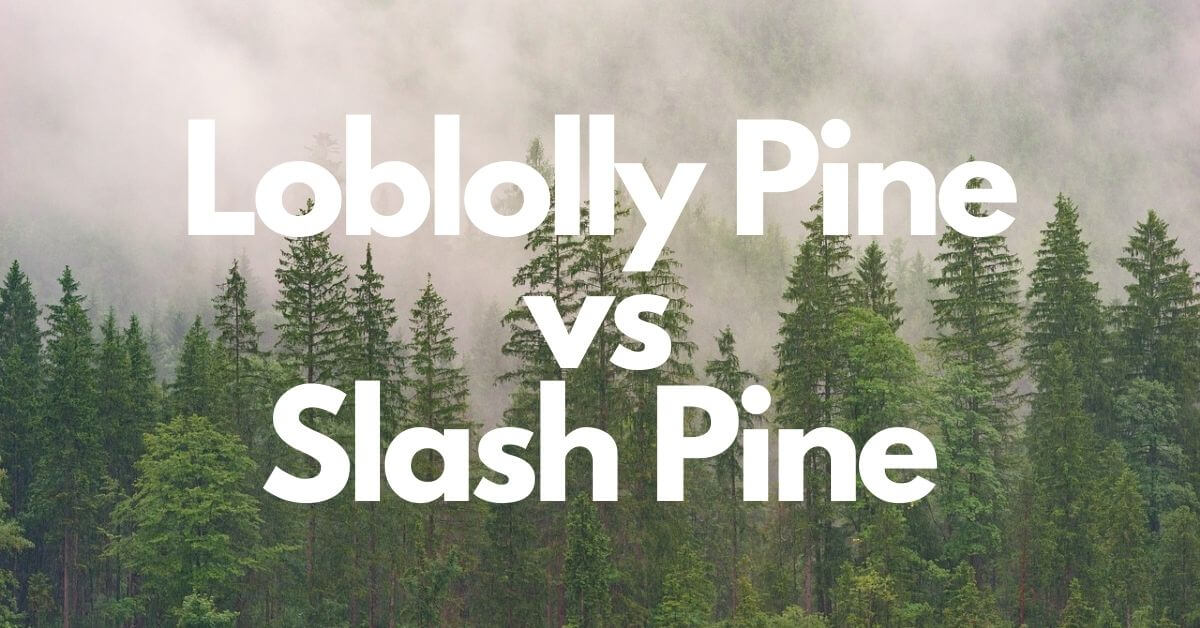Loblolly Pine vs Slash Pine | Which Wood is Best for Application?