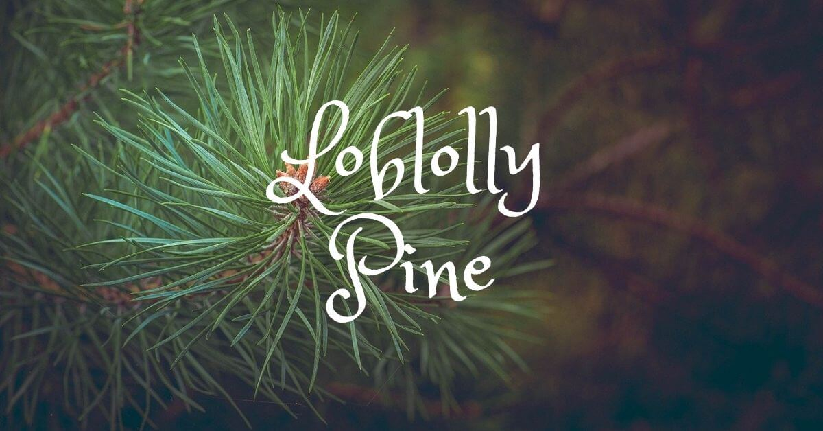 Loblolly Pine | Wood Uses, Workability and Tree Identification