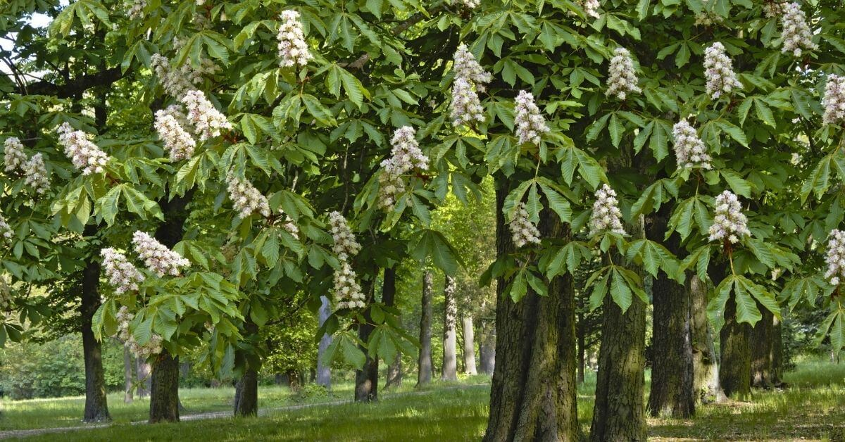 Chestnut Wood Types of Chestnut and Uses